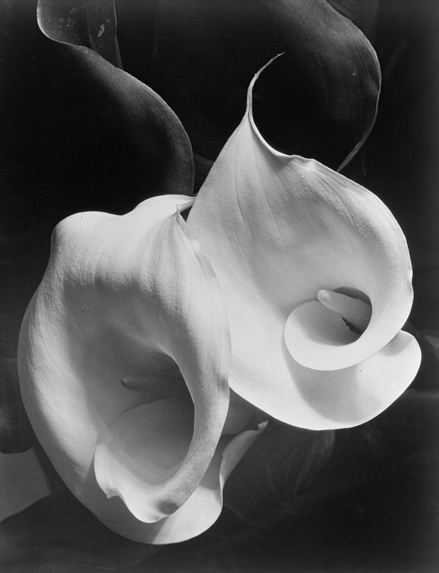 Image of black and white photograph of close up of two lillies in the center, surrounded by their leaves